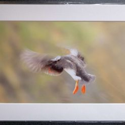 A4 Puffin in Flight Print