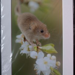 A4 Harvest Mouse in Blossom Print