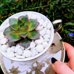 Georgeous succulent rosette in a silver tea cup&saucer, with drainage