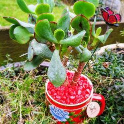 Beautiful red mug with large Jade succulent, with drainage