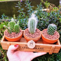 Set of 3 cacti in wooden crate