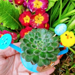 Gorgeous succulent potted in pebbles & cactus soil in plastic pot, placed in cute blue colour mini watering can (white,purple and pink also available) dressed with Easter embellishments ❤ For indoor use.