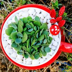 Gorgeous succulent in pebbles & cactus soil, potted in beautiful red ceramic tea cup