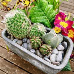 Cacti arrangement in grey textured concrete planter with drainage inlay. Perfect for home - on any surface. Collection or local delivery only due to weight