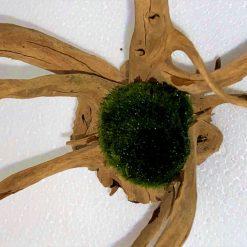 Jumbo Moss Ball (Marimo MossBall Cladophora aegagropila) 5сm+