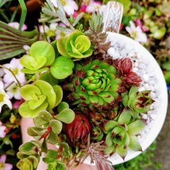Mixed hardy succulents, sedums & alpines in grit, perlite & cactus soil. Potted in a lovely brown art deco/artistic all over/ wrap around design fine china mug. Drilled hole in the bottom for drainage 5
