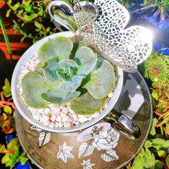Gorgeous echeveria succulent rosette potted in beautiful silver flowery design china tea cup