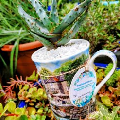 """Father's day gift! Gorgeous spikey Aloe in pebbles & cactus soil, potted in manly white with """"fishing boat village"""" design mug, wrap around print. With drilled hole for drainage, dressed with matching stones."""