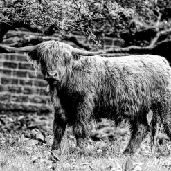 12x10 print of a Highland Cow