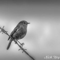 10x10 print titled Robin on barbed wire fence