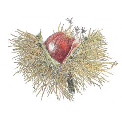 """Minatures Woodland Collection 'Chestnut...' Limited Edition Print Mounted 9""""x9"""" Print Fine Art, signed by the artist"""