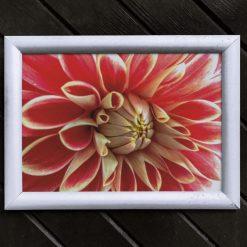 Dhalia Flower Art Print, Satin Finish Photo, A4 Size by Cornish Artist, Free UK Postage