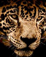 Jaguar DMC cross-stitch pattern. PDF download