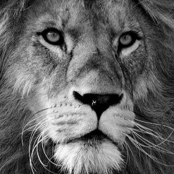 Monochrome Lion DMC cross-stitch pattern. PDF download