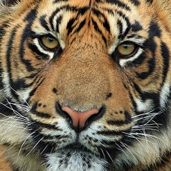 Tiger DMC cross-stitch pattern. PDF download