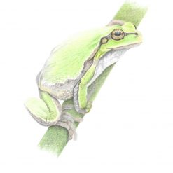 European Tree Frog Limited Edition Print