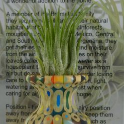 Vase with Airplant (Tillandsia)